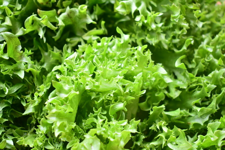 Frilly iceberg is top 10 hydroponic vegetables and health benefits. Stock Photo