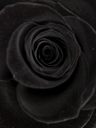 rosas negras: negro se elevaba