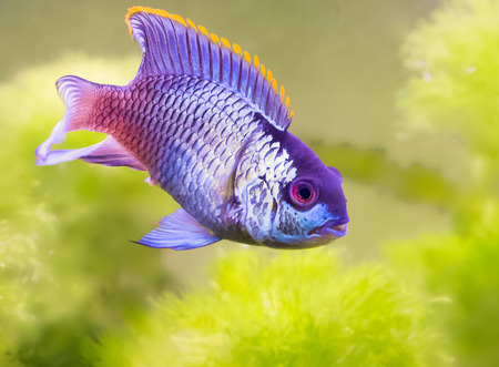 blue fish: Beautiful blue fish. The favorite of aquarists.