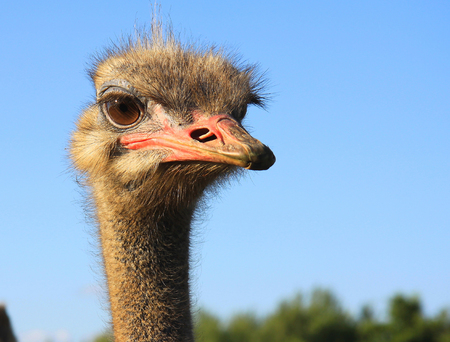 The look of curious ostrich close up