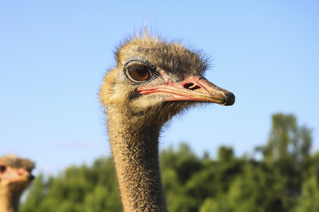 ostrich looks attentively