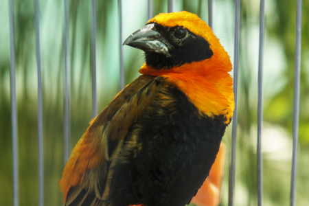 Bright bird with black and orange plumage