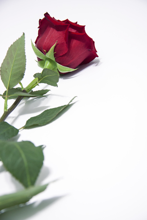 Red rose flower with leaves on a white background.