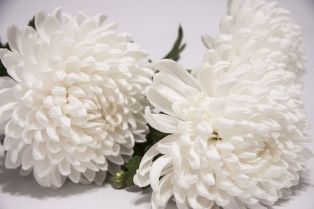 Romantic horizontal floral banner. Bouquet of white beautiful chrysanthemums 스톡 콘텐츠