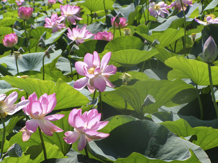 Beautiful natural landscape bloom of lilies on the lake. 스톡 콘텐츠