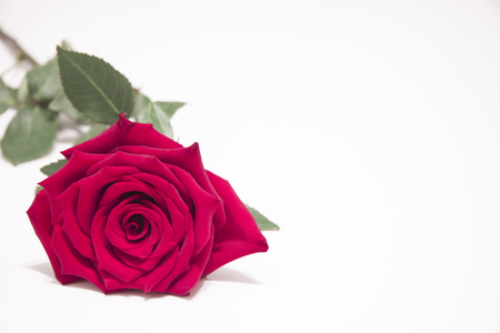 Red rose flower with leaves on a white background. Reklamní fotografie - 117498256