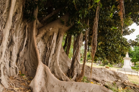 Thick tree in the park of Palermo, Sicily, Italy Stock Photo