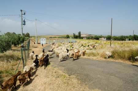 Sheep in Sicily, Italy next to mount Etna