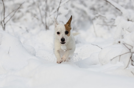 Jack Russell terrier running in the snow photo