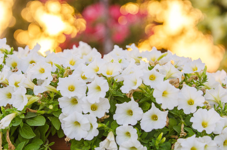 White petunias in the sunset
