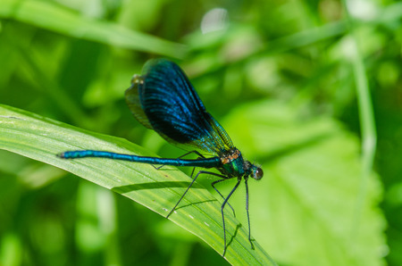 damselfly: insect dragonfly macro on leaf