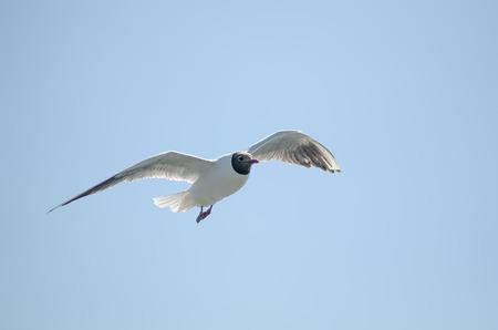 return trip: Flying gull  mew, seagull  in the sky