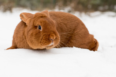 lop lop rabbit white: Rabbit outdoor in the background on the snow
