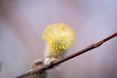 great sallow: First buds of Goat Willow, awakening of nature in the spring Stock Photo