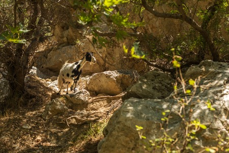 torrid: Crete, Greece: a goat in forest ofPalm Bay, famous touristic destination Stock Photo