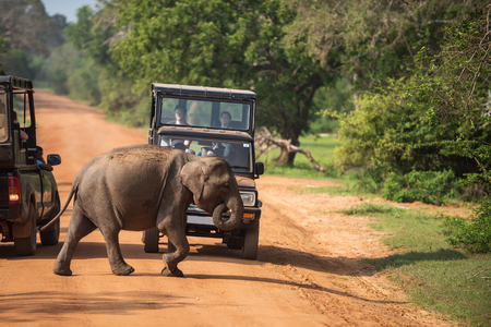wild elephant crossing road