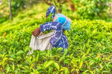Sri Lanka: tea collector with a bag in plantation Imagens
