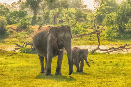 Sri Lanka: wild elephants in jungle, Yala National Park Stock Photo