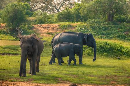 Sri Lanka: wild elephants in jungle, Yala National Park