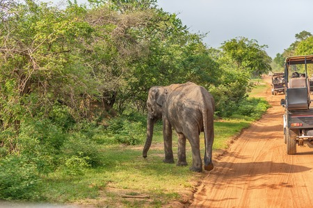 Sri Lanka: wild baby elephant in Yala National Park