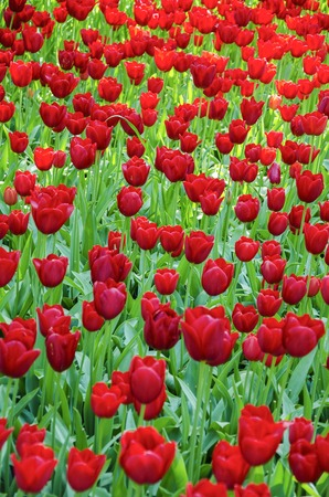 keukenhof: Tulips. Glade of red tulips in the park. Keukenhof.