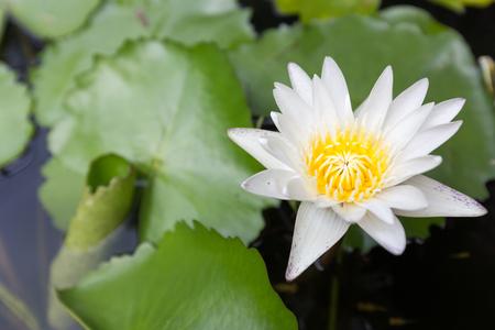 leaf logo: Beautiful lotus flower, White lotus flower select focus blur or blurred soft focus, Lotus flower background
