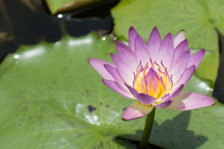 leaf logo: Beautiful lotus flower, Purple lotus flower select focus blur or blurred soft focus, Lotus flower background Stock Photo