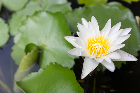 Beautiful lotus flower, White lotus flower select focus blur or blurred soft focus, Lotus flower background