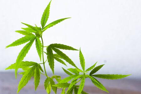 Selective focus cannabis, Close-up marijuana leaves, Cannabis seedlings with white background, Green hemp seedlings,Isolate Cannabis with clipping path