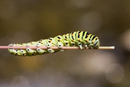 papilio: Old World Swallowtail (Papilio machaon)