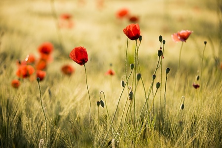 Poppy flower field photo