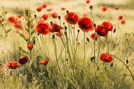 poppy field: Papaver Bloem veld