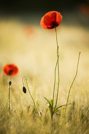 Poppy flower photo