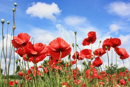 Poppy flower field Stock Photo