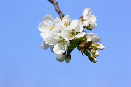 blossoms in early spring  photo