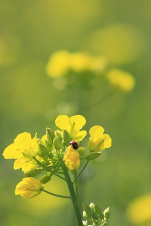 oilseed rape field  Stock Photo