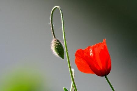 Poppy flower field photo