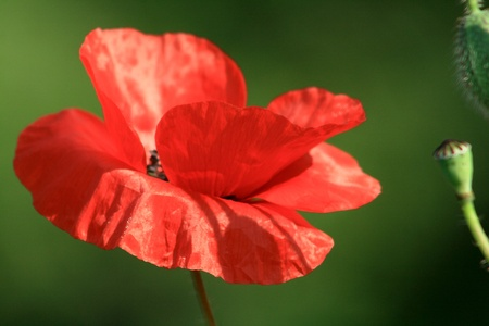 beautiful poppies photo