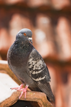 one pigeon  photo
