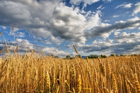 Ecological grain in summertime landscape  photo