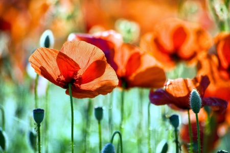 poppy flowers, buds and pods Stock Photo - 17107457
