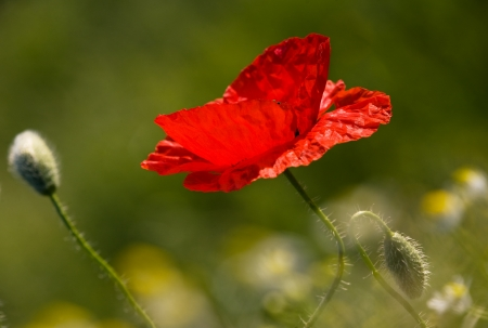 The poppy Stock Photo - 17107644