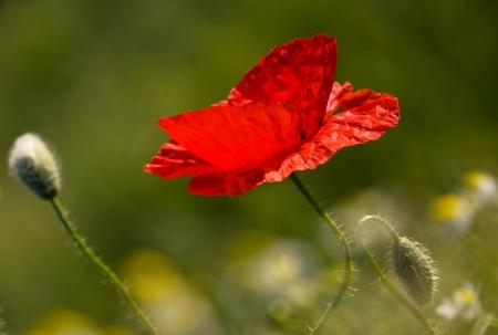 The poppy Stock Photo - 17107644