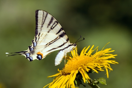 swallowtail: swallowtail butterfly  Stock Photo