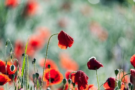 Poppies in the dewy grass  Stock Photo