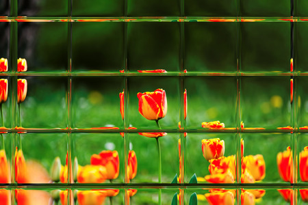 window panes: Abstract blurred defocused bokeh background of colorful tulips in garden through window panes Stock Photo