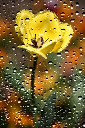 gotas de agua: Vista de los tulipanes a través del cristal de la ventana cubierta por las gotas de lluvia
