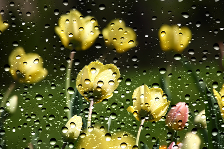 View of the tulips through the window glass covered by raindrops