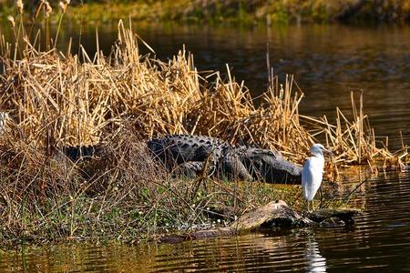 blue heron: Large Alligator with Immature Little Blue Heron