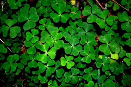 wood sorrel plant Stock Photo - 18194195